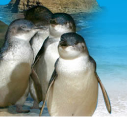 Phillip Island Penguin Parade - Accommodation Port Macquarie