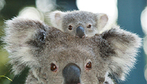 Billabong Koala and Wildlife Park - Accommodation Port Macquarie