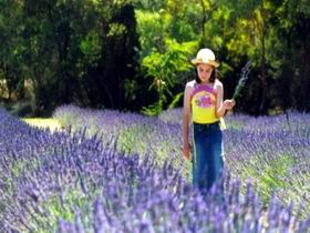 Brayfield Park Lavender Farm - Accommodation Port Macquarie