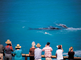 Whale Watching At Head Of Bight - Accommodation Port Macquarie